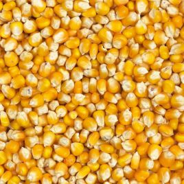 Попкорн семена кукурузы Su 72-80дн. 12-14см (GL Seeds) НЕТ ТОВАРА