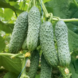 семена огурца алексеич f1