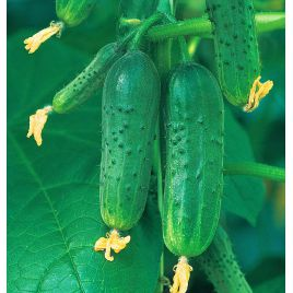 Верные друзья F1 семена огурца пчелооп. раннего 8-10 см (Элитный ряд)