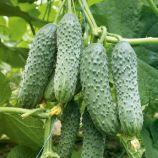 семена огурца виорика f1