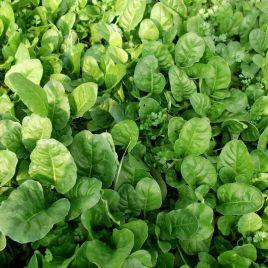 Озимый семена шпината (GL Seeds) НЕТ ТОВАРА