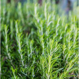 Розмарин семена (GL Seeds)