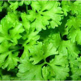 Слоуболт семена кориандра (Hem Zaden)