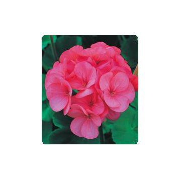 Герань (пеларгония) Салют, цвет Корал