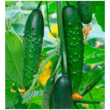 семена огурца емеля f1