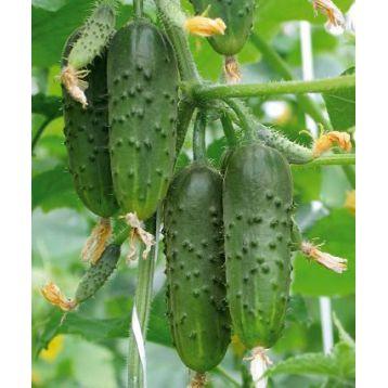 семена огурца стрекоза f1