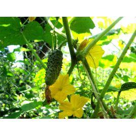 Теремок F1 семена огурца пчелооп. 8-12 см (Элитный ряд)