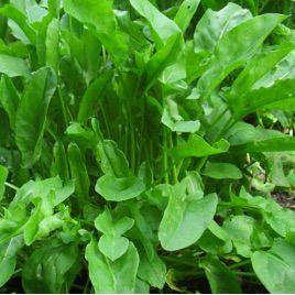Широколистный семена щавеля (Semenaoptom)