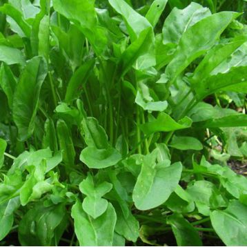 Щавель семена щавеля широколистного (Semenaoptom)