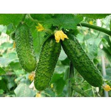 семена огурца чечель f1