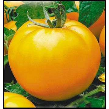 Апельсин семена томата индет. оранжевого 200-300 гр. (Элитный ряд)