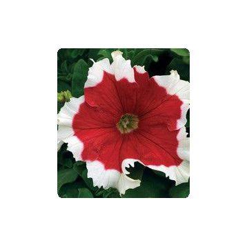 Петунія Серенада Red (червона)