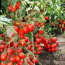 Булат F1 семена томата дет (Элитный Ряд)
