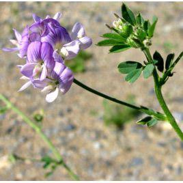 Люцерна семена (Украина)