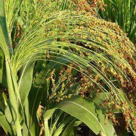 Сорго віничне насіння (Україна)