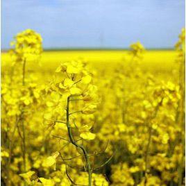 Сурепица (медонос и сидерат) семена (Украина)