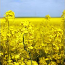 Сурепица (медонос и сидерат) семена (Украина) НЕТ СЕМЯН