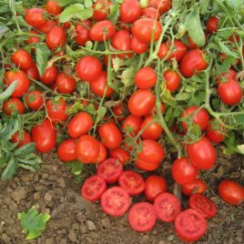Желани F1 семена томата дет. 90-110 гр. (Erste Zaden) НЕТ ТОВАРА