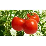 Катюша-нова F1 семена томата дет (Элитный ряд)