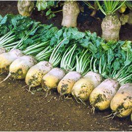 Урсус Поли семена свеклы кормовой (GL Seeds)