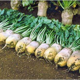 Урсус Поли семена свеклы кормовой (GL Seeds) НЕТ ТОВАРА