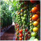 Марголь F1 семена томата индет. черри раннего 105-115 дн. окр. 15-20 гр. (Yuksel)