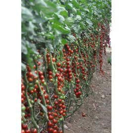 Марголь F1 семена томата индет. раннего окр. черри 15-20 гр. (Yuksel)