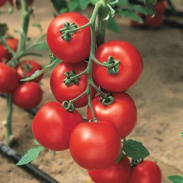 Джадело F1 семена томата индет. (Vilmorin)
