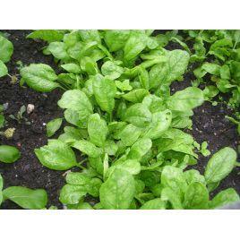 Корвер F1 семена шпината ранний (Enza Zaden)