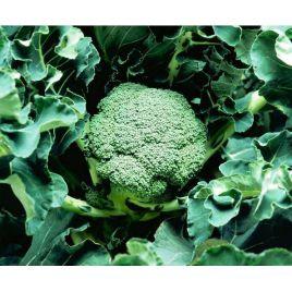 Корато F1 семена капусты брокколи среднеранний 70-75 дн 0,8-1,2 кг (Enza Zaden)