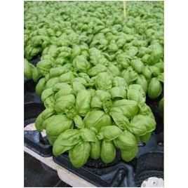 Эмили семена базилика зеленого (Enza Zaden)