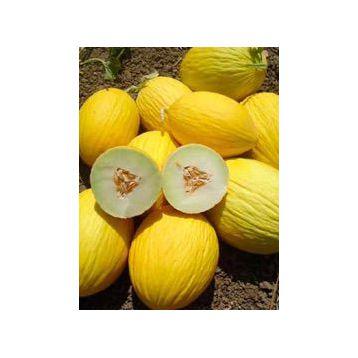 Эгназио F1 семена дыни 3-5 кг (Enza Zaden)