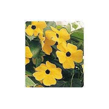 Люси Sunset семена тунбергии крылатой (Kitano Seeds)