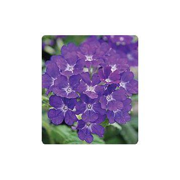 Мадам Blue семена вербены гибридной (Kitano Seeds)