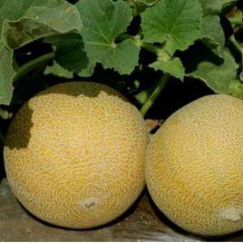 Трейси F1 семена дыни тип Галия ранней 60-70 дн. 2,5-3,5 кг окр. оран./бел. (Enza Zaden)