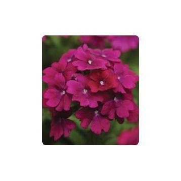 Мадам Purple семена вербены гибридной (Kitano Seeds)
