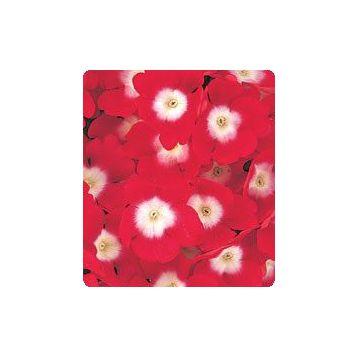 Мадам Red / Eye семена вербены гибридной (Kitano Seeds)