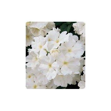Мадам White семена вербены гибридной (Kitano Seeds)