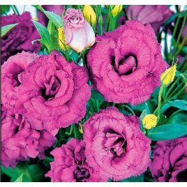 АВС 2 F1 семена эустомы махровой пурпурной дражированные (Pan American СДБ)