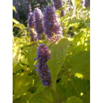 Золотой Юбилей семена мяты (Украина СДБ)
