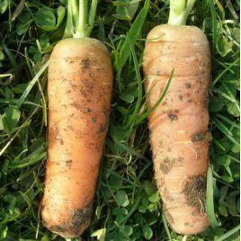 Нантская 4 семена моркови Нантес средней 100-110 дн. (Гавриш)