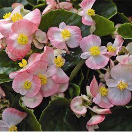 Бада Бинг F1 розовый биколор семена бегонии (Syngenta)