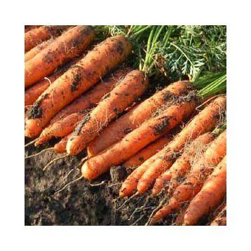 Ньюхолл F1 семена моркови Нантес PR (1,6-1,8 мм) (Bejo)