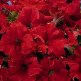 Аладдин F1 семена петунии красной (Элитсорт семена)