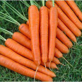 Ортолана семена моркови Нантес (Euroseed)