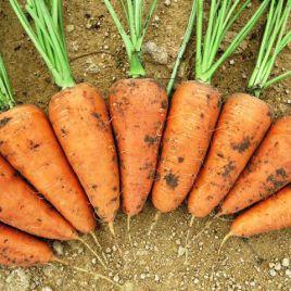 Ред Кор семена моркови Шантане среднеранней 110 дн. (Griffaton)