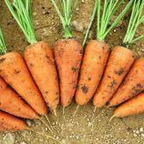 Ред Кор семена моркови Шантане (Griffaton)