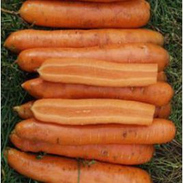 Майа F1 семена моркови Нантес ранней 85-95 дн. (Tezier) НЕТ СЕМЯН