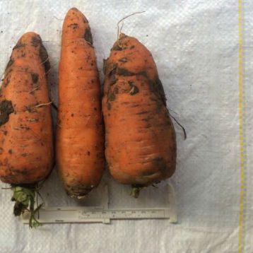Свитшан семена моркови Шантане (Свитязь)