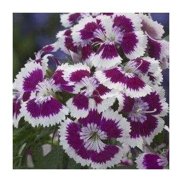 Амико Purple Picotee семена гвоздики дражированные (Kitano Seeds)
